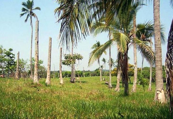 La enfermedad ya ha dañado plantíos en ocho comunidades rurales de Bacalar. (Javier Ortiz/SIPSE)