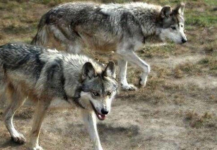 El lobo mexicano estuvo a punto de desaparecer por cacería y envenenamiento. (Twitter.com/@Uniobregon1)
