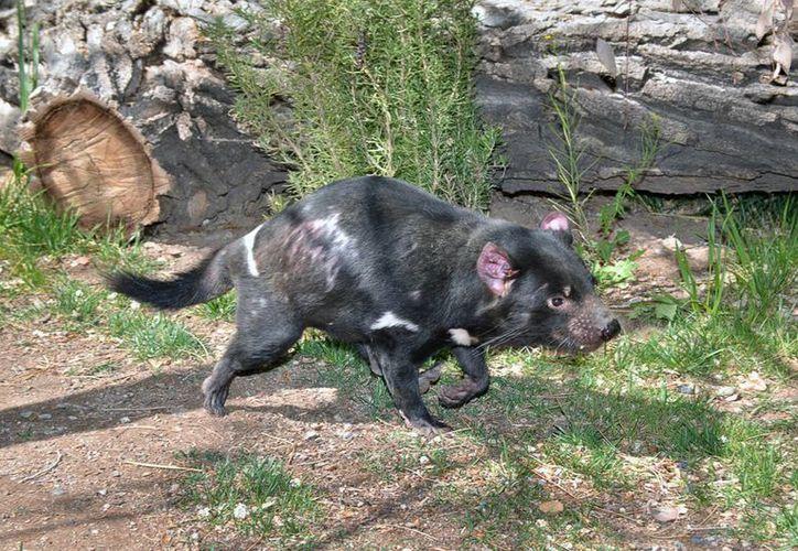 """Fotografía del 30 de abril de 2014 provista por ABQ BioPark del marsupial """"Jasper"""", uno de cuatro demonios de Tasmania presentados a los visitantes del zoológico en diciembre de 2013. (Agencias)"""