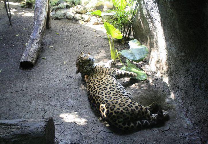Al dejar de ser el zoológico una unidad de manejo ambiental, su cierre sería definitivo. (Harold Alcocer/SIPSE)