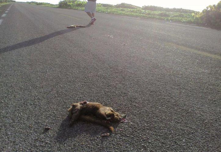 Personal de la Conanp fotografió los restos de dos especímenes de coatí atropellados por un vehículo. (Redacción/SIPSE)