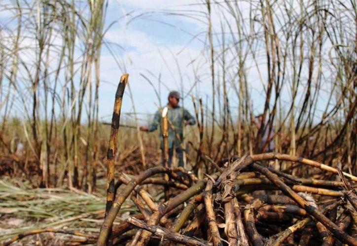 Sancionarán a los productores que no exijan un corte de caña al ras del suelo. (Edgardo Rodríguez/SIPSE)