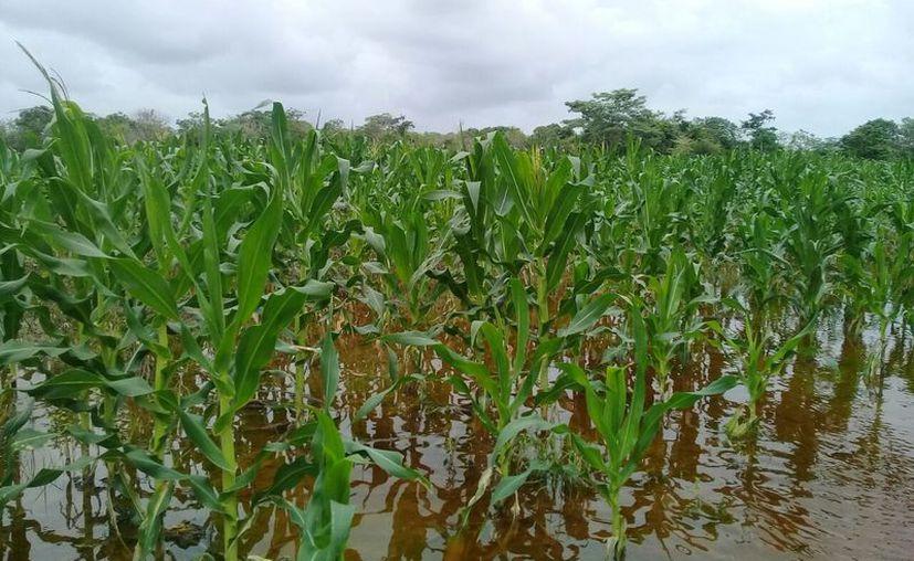 Se prevé un apoyo de hasta dos mil 500 pesos por hectáreas para la recuperación inmediata. (Javier Ortiz/SIPSE)