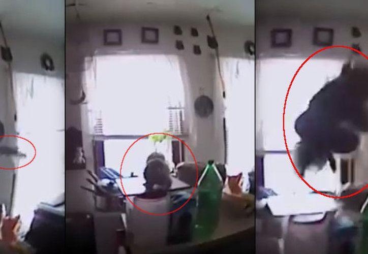 Entre risas, los agentes lograron capturar al animal y lo dejaron de nuevo en libertad.  (Foto: El Tiempo)