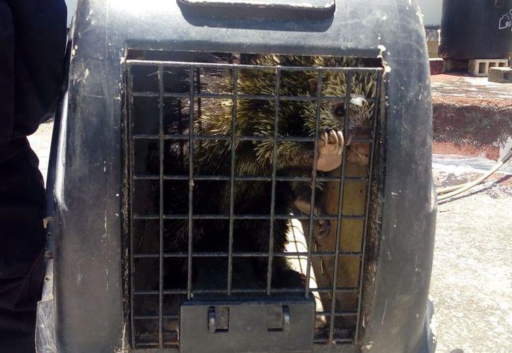 El animal fue llevado al zoológico para ser valorado por el veterinario. (Foto: Redacción/SIPSE)