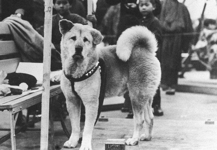 'Hachiko', un perro de raza Akita, pertenecía a Hidesaburo Ueno, un profesor de ingeniería agrónoma de la Universidad de Tokio que murió en 1925. (Agencias)