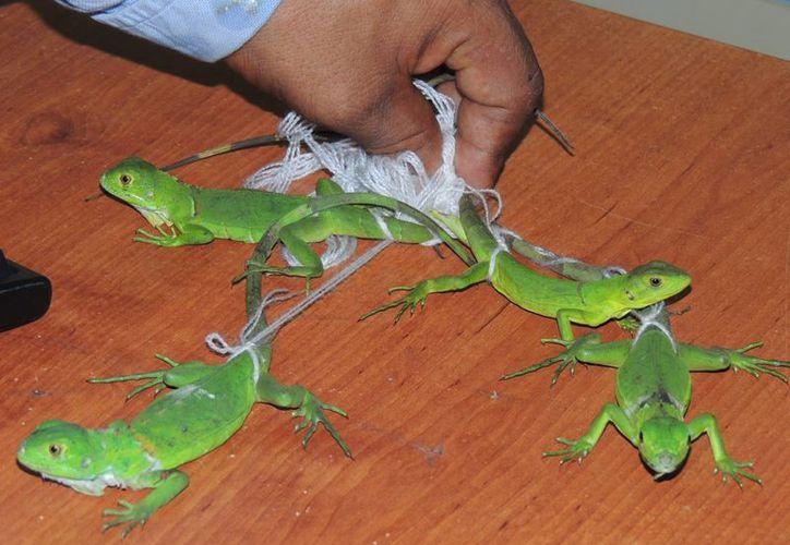 Según la Profepa, los reptiles son los más afectados por el tráfico vía paquetería. En la imagen, decomiso de algunos ejemplares de iguanas en peligro de extinción, en Chilpancingo, Guerrero. (Archivo/Notimex)