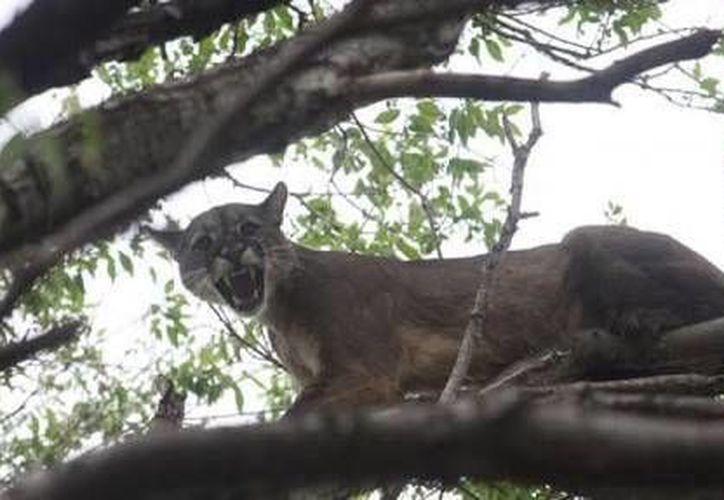 El felino se encontraba a una altura de seis metros en un árbol de zapote. (Redacción/SIPSE)