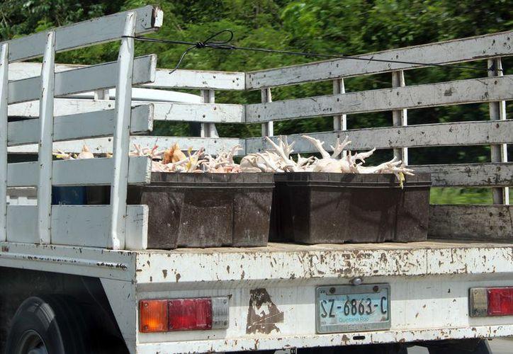 Serán las autoridades correspondientes quienes determinen si efectuar la matanza de aves será en el rastro de manera obligatoria. (Joel Zamora/SIPSE)