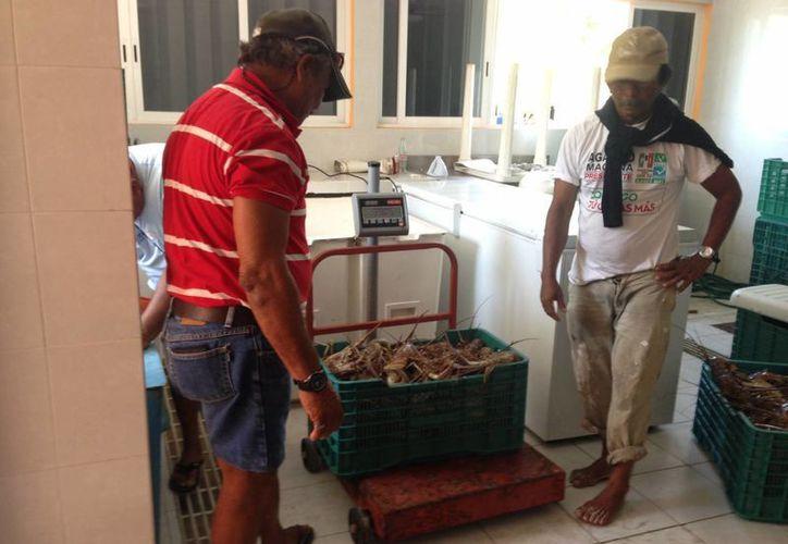 Esperan capturar 320 toneladas de langosta durante la temporada. (Lanrry Parra/SIPSE)