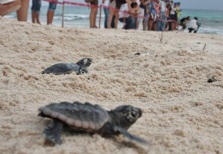 El personal se mantiene atento para ayudar a las tortugas que busquen los arenales. (Sara Cauich)
