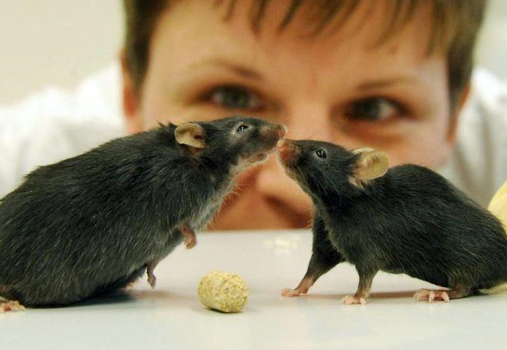 Los roedores que no fueron modificados genéticamente con el MCR1 aumentaron más de un 16% su peso corporal. (EFE)
