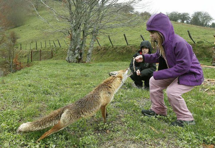 Los ataques de zorros son cada vez mas frecuentes en Londres (EFE)