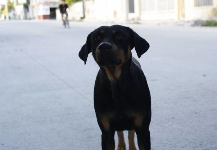 El Centro de Atencion Canina informa que al mes reciben por lo menos 10 denuncias por maltrato animal. (Redacción/SIPSE)
