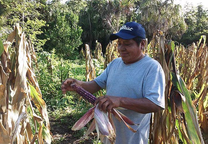 en las zonas de cultivo, las mazorcas tienen un precio de 1.20 y 1.50 pesos, pero por los costos de transporte, se encarecen. (Javier Ortiz/SIPSE)