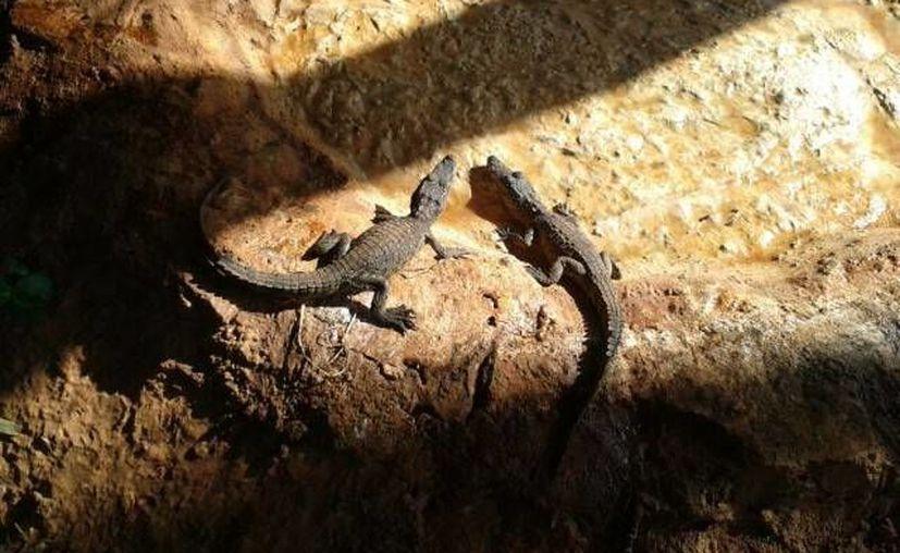 Las crías de cocodrilo ya están ahora en un sitio similar a su hábitat. (SIPSE)