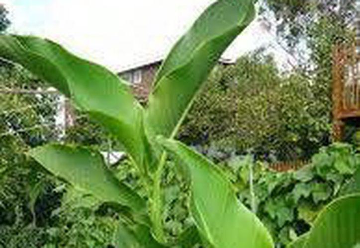 La planta de chankalá es un hermoso arbusto de hojas similares al plátano y puede crecer en el jardín. (SIPSE)