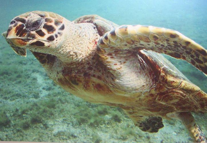 Las especies de tortugas caguama y carey son las que anidan más cerca del mar. (Luis Soto/SIPSE)