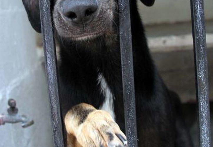 En la actualidad el CAC tiene 58 perros, en su mayoría fracturados por agresión. (Israel Leal/SIPSE)