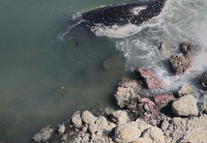 El tiburón ballena se encuentra listado en la Norma Oficial Mexicana NOM-059-SEMARNAT-2010, bajo la categoría de especies Amenazadas. (Excelsior)