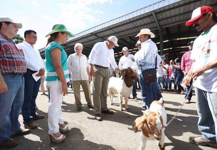 El Gobernador de Yucatán estuvo por tercera vez en la Feria de Yucatán, donde se impuso un récord con la comercialización de 120 ejemplares bovinos. (Foto de contexto cortesía del Gobierno)