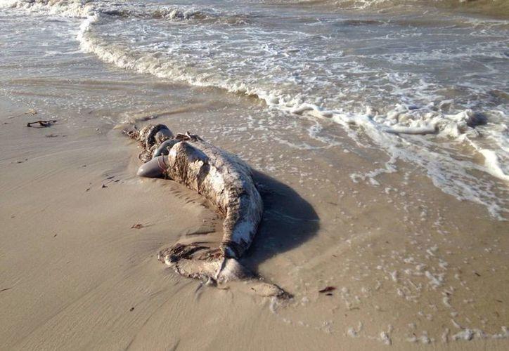 Este sábado recaló en la costa de Progreso un delfín. Se trata del quinto delfín que recala en costas yucatecas en lo que va del año y el sexto animal marino si se toma en cuenta el caso de un cachalote pigmeo. (Fotos: Gerardo Keb/Milenio Novedades)