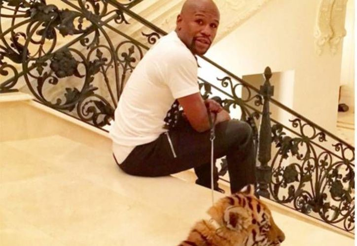 Floyd Mayweather dio a conocer su exótica mascota a través de las redes sociales, de igual manera busca nombre para tu tigresa.(Excélsior)