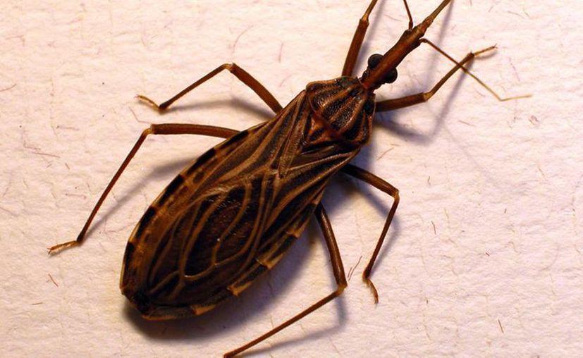 El 10 por ciento de la población mundial ha tenido contacto con el mal de Chagas, transmitido por el insecto llamada chinche picuda. (Wikipedia)