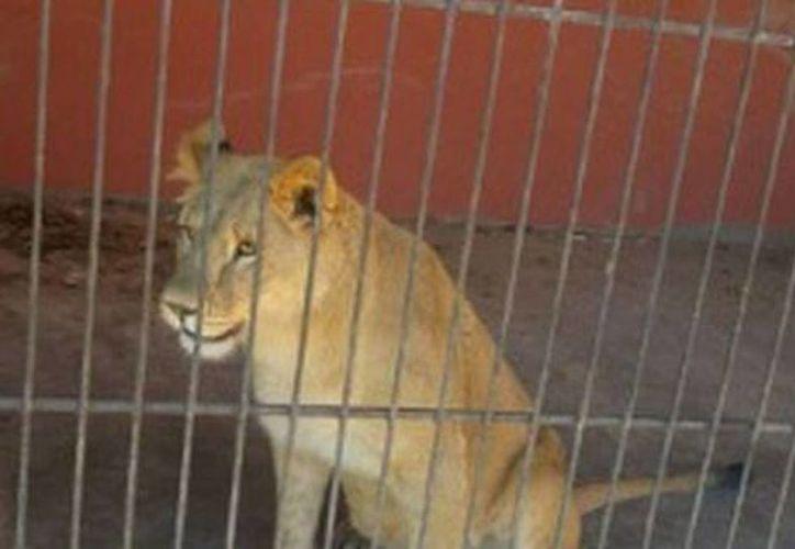 Los felinos fueron asegurados y puestos a disposición de la Procuraduría Federal de Protección al Ambiente, por tratarse de animales exóticos que requieren un manejo y cuidado especial. (Milenio)