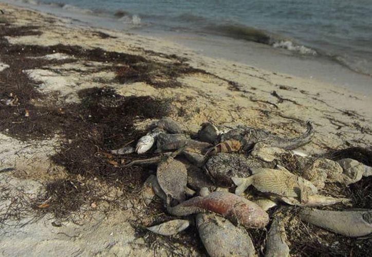 En plena temporada vacacional, manchas de marea roja rondan la costa yucateca, dicen pescadores. (Milenio Novedades)