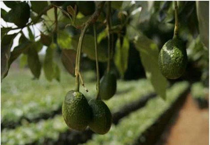 El aumento de 5.4 por ciento anual de las actividades primarias se originó por el alza registrada en la agricultura. (Milenio)