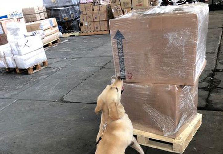 En una revisión de rutina, el comportamiento de los animales delató el almacenamiento de varios paquetes de droga. (Enrique Mena/SIPSE)