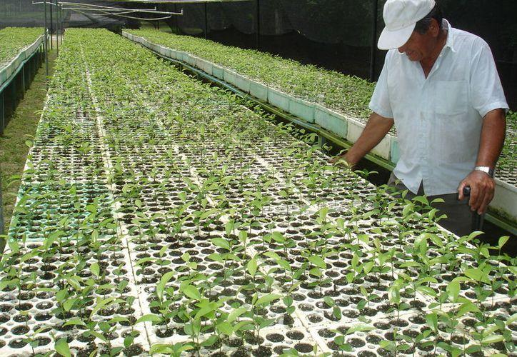 Los productores de chile habanero ya iniciaron el proceso de la siembra de las plantas del picante.