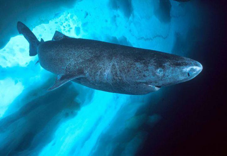 Los tiburones de Groenlandia están ampliamente difundidos en las aguas del Atlántico Nort. (laprensalibre.cr)