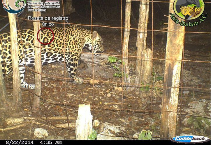 La Red Comunitaria de Protección del Jaguar busca crear conciencia para cuidar a esta especie protegida. (Cortesía)