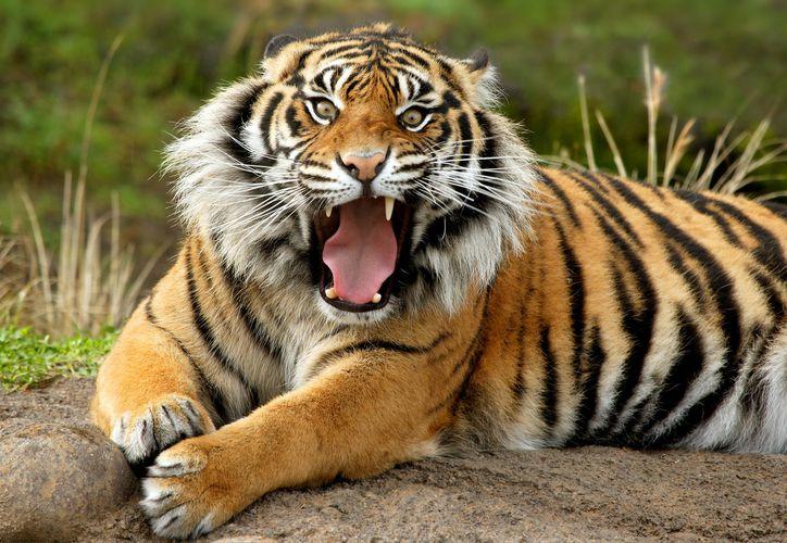 Un tigre sumatra atacó a una mujer de 33 años en una plantación de palmeras. (Foto: Contexto)