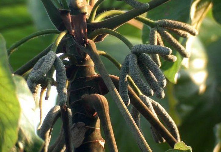 Té de guarumbo, un árbol que llega a medir 20 metros de alto. (telediario.mx)