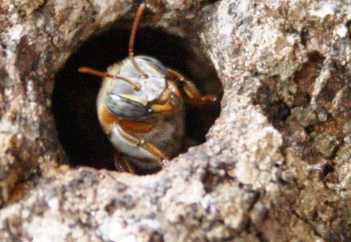 La producción de miel de abeja melipona ha registrado una caída de hasta 30% este año. (Octavio Martínez/SIPSE)