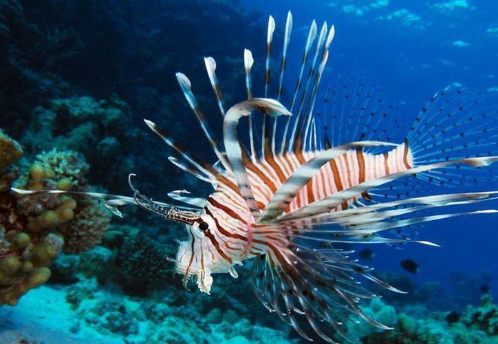 El pez león, considerado un depredador de los mares, llegó a Yucatán hace 13 años. Según las autoridades, no ha causado graves daños al ecosistema marino. (latinamericanscience.org)
