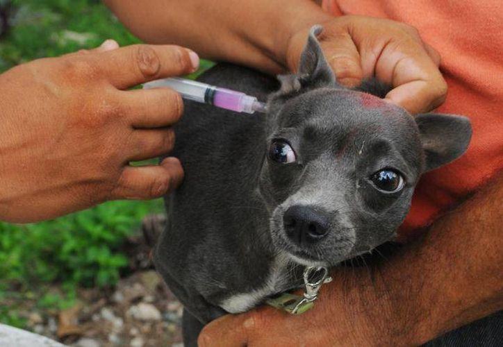 Se dispondrá también de una unidad móvil que se encargará de aplicar las vacunas a las mascotas de las comunidades marginadas de la ínsula. (Redacción/SIPSE)