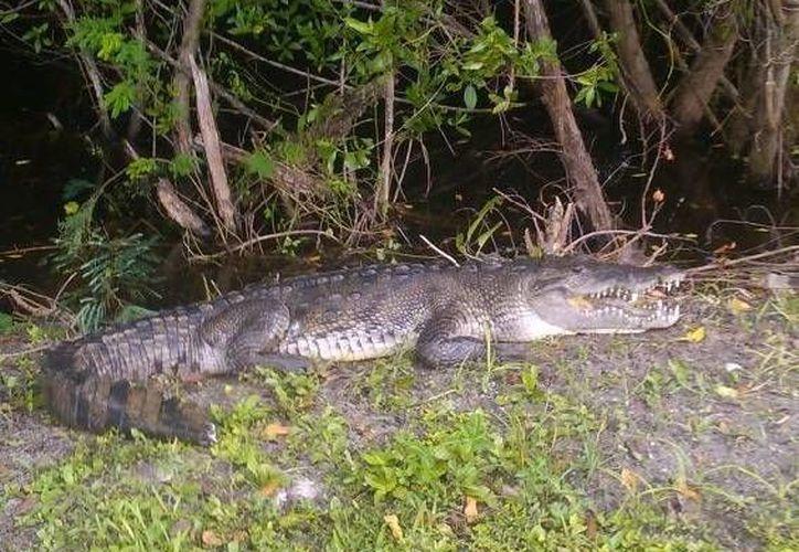 Colocan señalamiento de presencia de cocodrilos en el bulevar kukulcán. (Redacción/SIPSE)