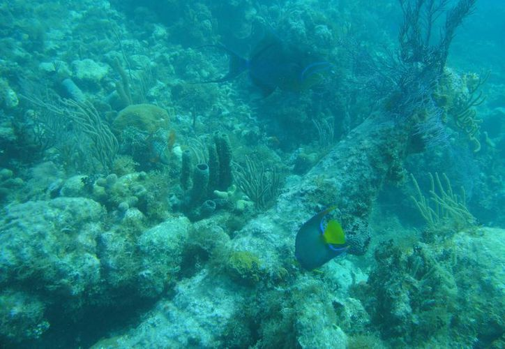 """""""El Niño"""" podría causar la pérdida de salud de los corales. (Tomás Álvarez/SIPSE)"""