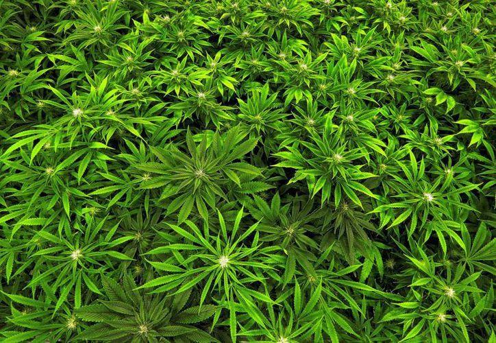 La discusión y aprobación del uso medicinal de la marihuana se hallan atoradas en el Congreso. (AP/Seth Perlman)