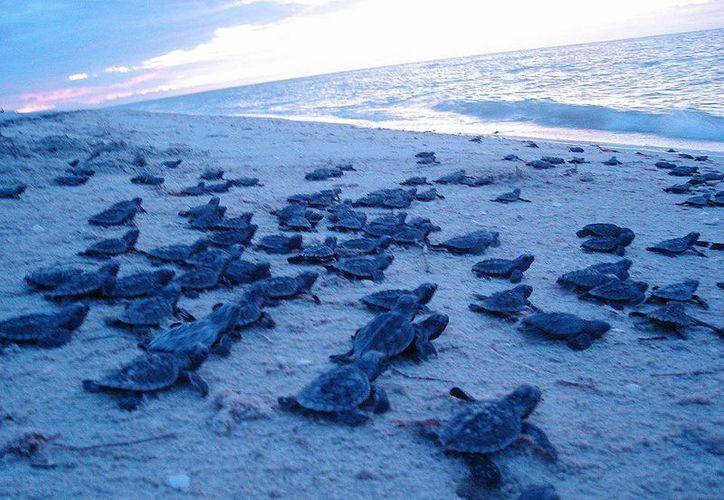 Los turistas han participado en la liberación de crías. (Luis Soto/SIPSE)