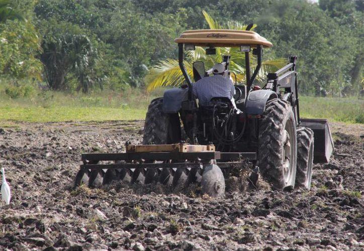 Alrededor  de 200 campesinos en de Othón P. Blanco realizan la resiembra de sus cultivos siniestrados por las pasadas lluvias. (Harold Alcocer/SIPSE)