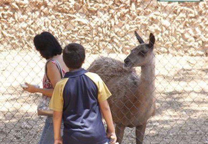Un guanaco recibe la visita de niños que pasean por el Centenario. (Juan Albornoz/SIPSE)