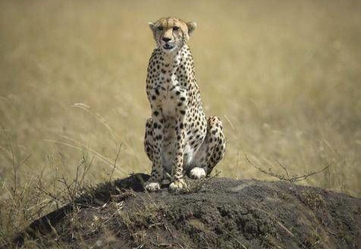 El chita (o cheetah o guepardo) es un animal en riesgo de extinción, pues solo quedan poco más de siete mil ejemplares en el mundo. En Asia solo quedan unos 50. (Foto tomada de ansalatina.com)
