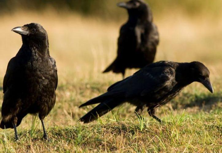 En un parque de Francia, los cuervos recogen las colillas de cigarro. (Muy Interesante)