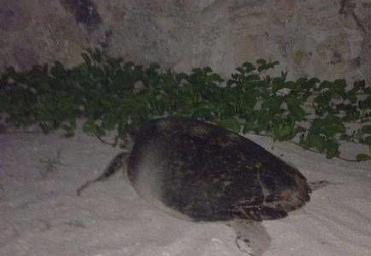 La tortuga que desovó el martes 15 de julio en la playa del malecón de Progreso. (Óscar Pérez/SIPSE)