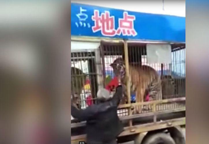 El hombre se acercó a las jaulas de los felinos para intentar alimentarlos. (Foto: Captura)